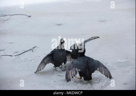 Eurasian Coots, (Fulica atra), in territorial display during winter on frozen lake in Regents Park, London, United - Stock Photo
