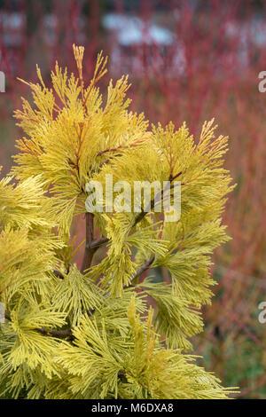 Calocedrus decurrens 'Berrima Gold'. Incense cedar 'Berrima Gold. Slow growing columnar conifer tree. UK - Stock Photo