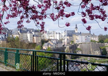 View on the old town of Luxembourg city from beneath a Kwanzan cherry tree with pink fluffy blossoms - Stock Photo