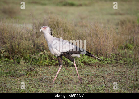 Secretary bird  Sagittarius serpentarius in profile walking on African grassland - Stock Photo