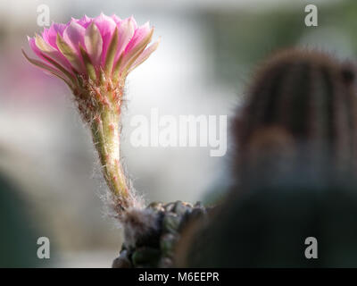 Beside of pink cactus flower are blooming on the green stalk. Stuck on a cactus. copy space for text and content - Stock Photo