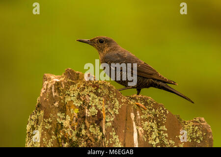 Blue rock thrush (monticola solitarius) female, perched - Stock Photo