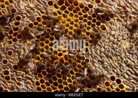 Bee Hives NATURAL HONEY BEES HONEYCOMB WITH CELLS