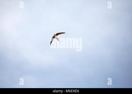Alpine swift Apus melba in flight Cabo Sardao Portugal - Stock Photo