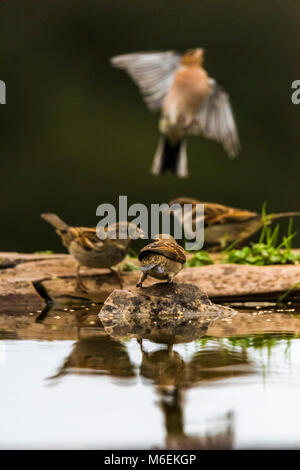 House sparrows (passer domesticus) feeding, chaffinch flying away - Stock Photo