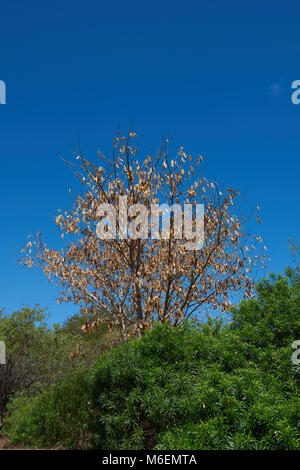 Dried Tamarind Seed Pods on a Tree in Mauritius. - Stock Photo