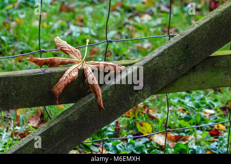 Fallen dead Horse Chestnut leaf resting on wooden gate - Stock Photo