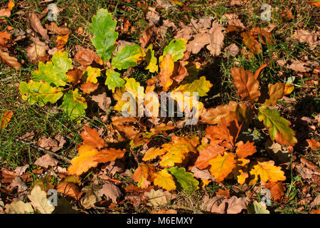 Sunlit Autumn Oak leaves resting on the ground in an UK park - Stock Photo