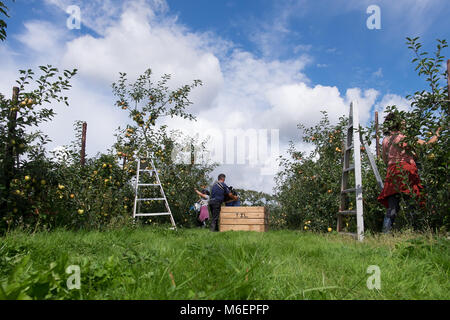 Fruit pickers in an orchard - Stock Photo