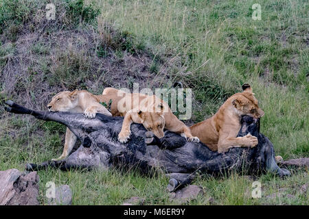 Buffalo Kill by Lions - African Wildlife - Stock Photo