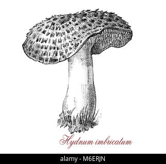 Vintage engraving of  sarcodon imbricatum  or shingled edgehog, edible mushroom with white flash and brown cap large - Stock Photo