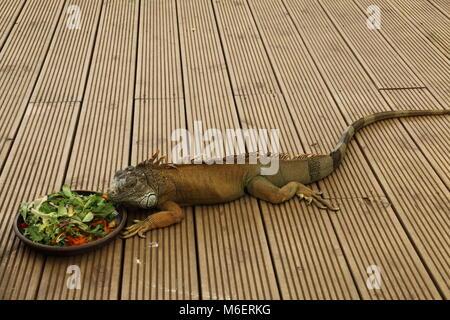 Iguana eating salad - Stock Photo
