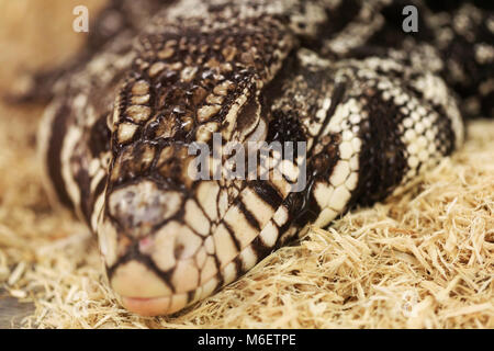 Blue Tegu, Tupinambis merianae, in front of white background