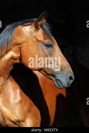 Bay purebred dressage sports horse in dark stable - Stock Photo