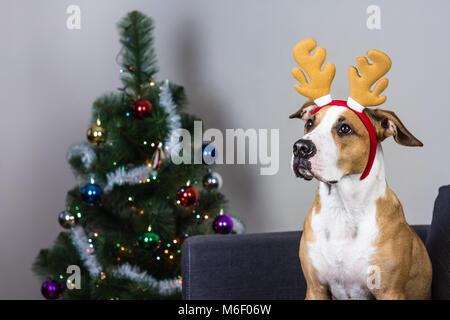 Dog in christmas reindeer headband and fur tree - Stock Photo
