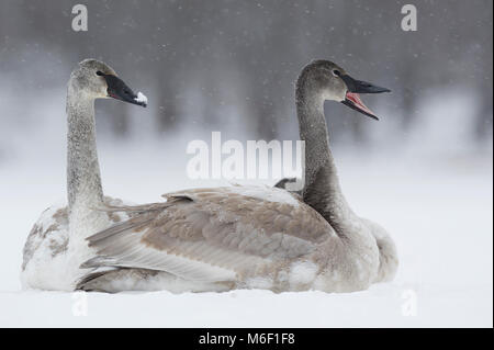 Immature Trumpeter Swans (Cygnus buccinators)sitting on St Croix River, WI, USA, by Dominique Braud/Dembinsky Photo - Stock Photo