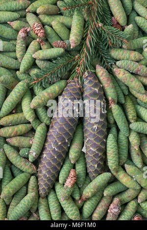Spruce Pine cones (Picea), by Skip Moody/Dembinsky Photo Assoc - Stock Photo