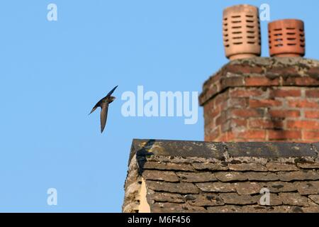 Common swift (Apus apus) flying over the roof of a cottage, Lacock, Wiltshire, UK, May. - Stock Photo