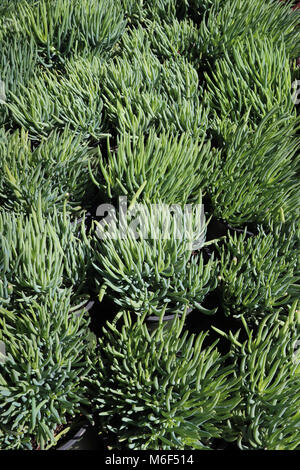 Rows of bluish-green potted succulent finger plants in a flat on display in garden shop for xeriscape drought tolerant - Stock Photo
