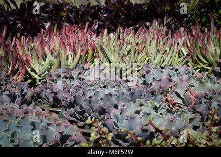 Rows of colorful succulent plants on display in a garden shop, where they are sold for ornamental plantings for - Stock Photo