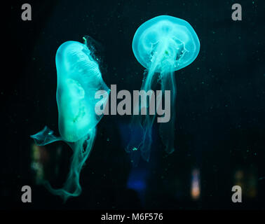 Two azurian blue jellyfish floating in the dark water - Stock Photo