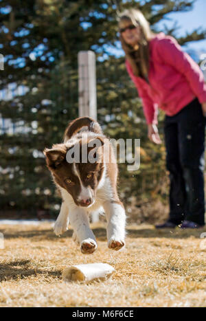 Woman playing with her nine week old Border Collie puppy; running outside - Stock Photo