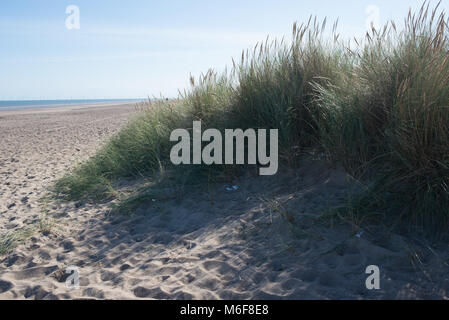 The mix of lyme grass and marram on the sand dunes near Skegness in Lincolnshire form a barrier to prevent erosion. - Stock Photo