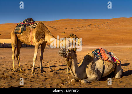 Couple of camels resting in Wahiba Sands , Oman - Stock Photo