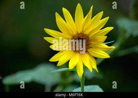 Yellow daisy with green background - Stock Photo