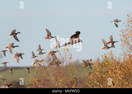 Female Marsh harrier (Circus aeruginosus) hunting over marshland and flushing several species of duck into flight, - Stock Photo