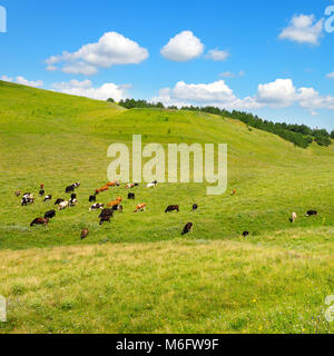 Small herd of cows on slope of picturesque hill with green grass and blue sky. Copy space - Stock Photo