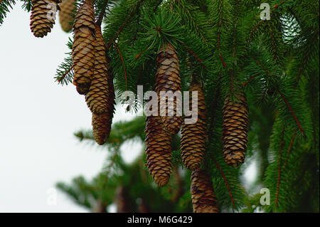 Norway Spruce cone - Stock Photo