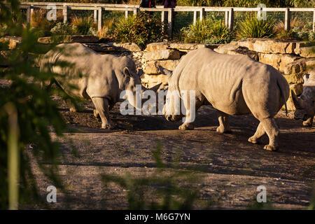 Two rhinos fighting in dust at sundown in Dublin City Zoo, Ireland - Stock Photo