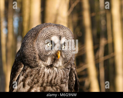 Portrait of one of largest owl - Great grey owl - Strix nebulosa - Stock Photo