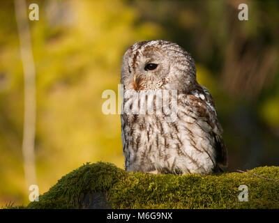 Portrait of Strix aluco - Ttawny owl sitting on moss in forest - Stock Photo
