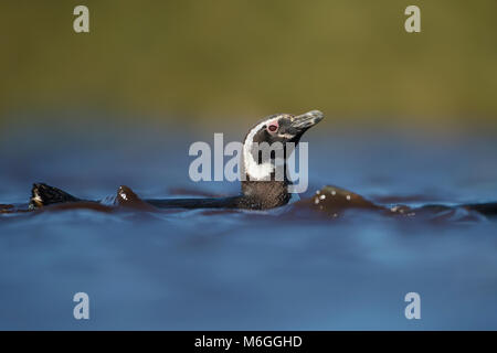 Magellanic penguin swimming in freshwater pond, Falkland islands. - Stock Photo