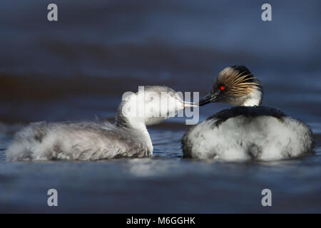 Silvery Grebe feeding a juvenile in a freshwater lake, Falkland islands. - Stock Photo
