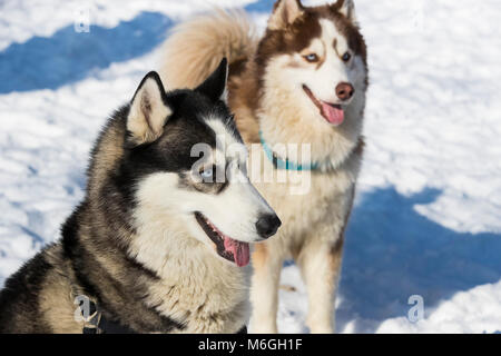 Siberian husky dogs for a walk in the winter park. - Stock Photo