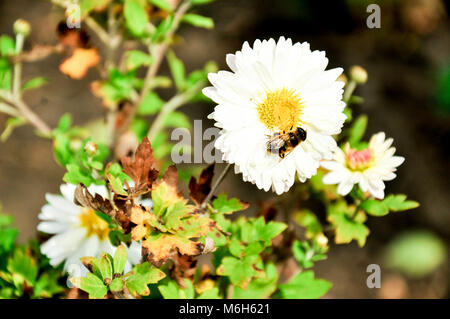 A lot of camomile flowers on a summer meadow camomile field in summertime white camomiles - Stock Photo