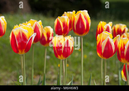 'Keizerskroon' Single Early Tulip, Tidig enkel tulpan (Tulipa gesneriana) - Stock Photo