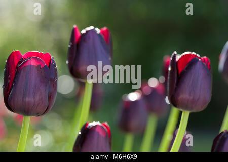 'Queen of Night' Single Late Tulip, Sen enkelblommande tulpan (Tulipa gesneriana) - Stock Photo