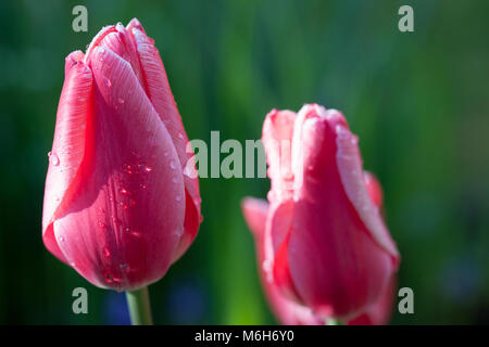 'Princess Victoria' Triumph Tulip, Triumftulpan (Tulipa gesneriana) - Stock Photo
