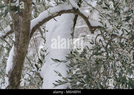 Snow covered olive tree in Province of Imperia, Italy - Stock Photo