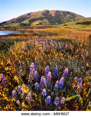 Wildflowers on Knoll and Black Mountain, Nicasio, Marin County, California - Stock Photo