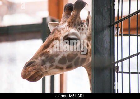 Magdeburg, Germany - March 4,2018: A small giraffe looks curiously behind a pillar in the zoo of the city of Magdeburg. - Stock Photo