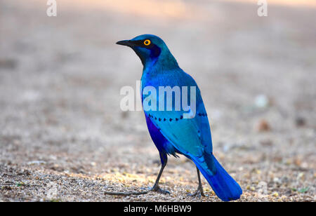 Kruger park, South Africa. Cape glossy starling, Lamprotornis nitens - Stock Photo