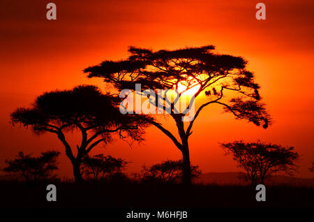 Serengeti National Park in Tanzania, is one of the most spectacular wildlife destinations on earth. Acacia Tortilla - Stock Photo
