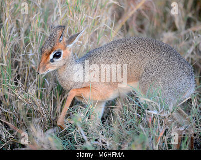 Serengeti National Park in Tanzania, is one of the most spectacular wildlife destinations on earth. Kirk's Dik-Dik - Stock Photo