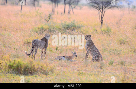 Serengeti National Park in Tanzania, is one of the most spectacular wildlife destinations on earth. Hunting sequnce - Stock Photo