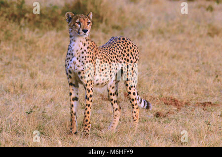 Serengeti National Park in Tanzania, is one of the most spectacular wildlife destinations on earth. Nervous cheetah - Stock Photo